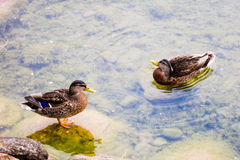 Ducks in a lake Stock Photography