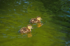 Ducks in lake. Little duck swimming in lake stock images