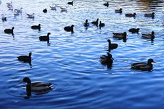 Ducks on the lake. Ducks on the Malta lake in Poznan, Poland Stock Photo