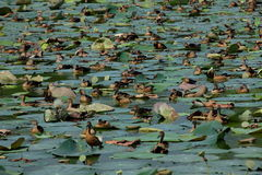 Ducks on the lake Stock Photo