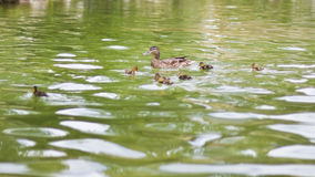 Ducks in a lake Royalty Free Stock Image