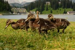 Ducks lake of misurina dolomites Stock Images