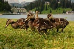 Ducks lake of misurina dolomites. Italy stock images