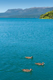 Ducks, Lake & Montain - Tarawera Royalty Free Stock Photography