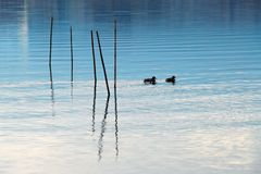 Ducks on the lake at Mount fuji stock images