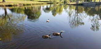 Ducks on the lake Stock Photos