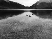 Ducks on the lake in New Zealand black and Stock Images