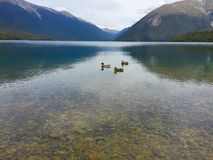 Ducks on the lake in New Zealand Royalty Free Stock Photo