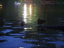 Ducks on lake at night. And hydrobicycle in the background stock video