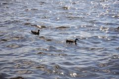 Ducks in the lake in north. Two ducks swimming in the water of the cold lake Stock Images
