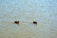 Ducks on lake Royalty Free Stock Photography