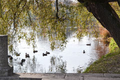 Ducks on lake in park. Ducks on a lake in a park at the fall Royalty Free Stock Photography