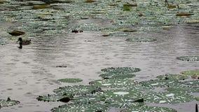 Ducks on the lake stock video footage