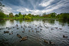 Ducks in the lake, at Patterson Park, Baltimore, Maryland. Royalty Free Stock Image