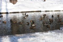 Ducks on lake - RAW format Royalty Free Stock Photography
