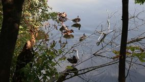 Ducks on lake. Rest lakeside among the branches of trees