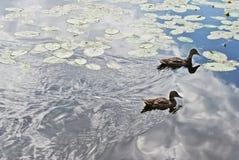 Ducks on the lake. Riga, Latvia Stock Photo