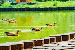 Ducks in the lake Stock Photos