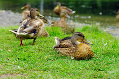 Ducks on lake shore. Royalty Free Stock Photography