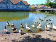 Ducks. On a lake shore across from a historic village stock photo