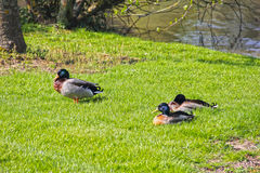 Ducks on lake shore Royalty Free Stock Images