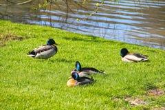 Ducks on lake shore Royalty Free Stock Photos