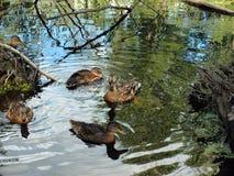 Ducks on lake Royalty Free Stock Image