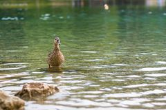Ducks on the lake. Small and young duck are waiting for food from tourists. Cute and funny animals.  Stock Photos