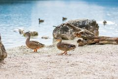 Ducks on the lake. Small and young duck are waiting for food from tourists. Cute and funny animals.  Royalty Free Stock Images