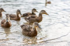 Ducks on the lake. Small and young duck are waiting for food from tourists. Cute and funny animals.  Royalty Free Stock Photo
