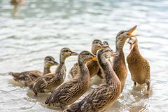 Ducks on the lake. Small and young duck are waiting for food from tourists. Cute and funny animals.  Royalty Free Stock Photos