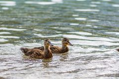 Ducks on the lake. Small and young duck are waiting for food from tourists. Cute and funny animals.  Royalty Free Stock Photography
