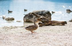Ducks on the lake. Small and young duck are waiting for food from tourists. Cute and funny animals.  Stock Images