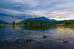 Ducks on the lake before the storm. Wild ducks on Schwarzsee lake with dramatic skies before the thunderstorm in Kitzbuhel, Austria Stock Image