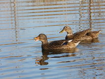 Ducks on the lake. In the suburbs of Dushanbe Tajikistan Stock Images