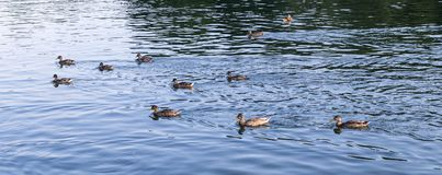Ducks on the lake at summer. background, texture. Royalty Free Stock Image