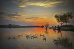 Ducks on the lake. In sunset Stock Photos
