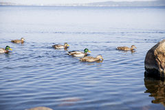 Ducks in the lake Royalty Free Stock Photography