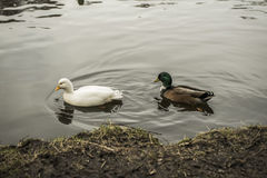 Ducks in a lake Royalty Free Stock Images