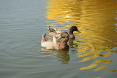 Ducks in the lake Royalty Free Stock Photo