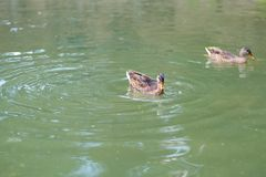 Ducks in the lake are swimming looking for food in the form of fish and insects. Ducks swim in the lake of emerald color ,in the afternoon on a summer day in stock photos