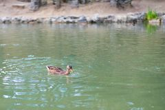 Ducks in the lake are swimming looking for food in the form of fish and insects. Ducks swim in the lake of emerald color ,in the afternoon on a summer day in stock images