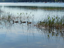 Ducks on lake. Ducks swimming in a lake near Manchester, New Hampshire, USA Royalty Free Stock Image