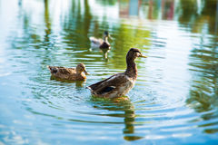 Ducks on lake. Ducks swimming on silence lake Royalty Free Stock Image