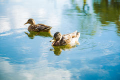 Ducks on lake. Ducks swimming on silence lake Stock Photography