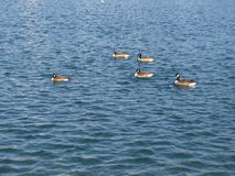 Ducks on a Lake Stock Image