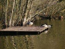 Ducks at a lake stock image