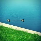 Ducks on the Lake Stock Image