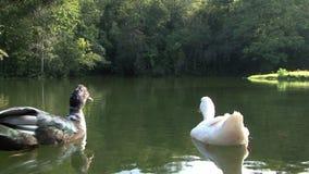 Ducks in the lake stock video