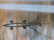 Ducks on a lake royalty free stock image